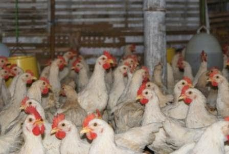 Cara Ternak Ayam Dengan Rendah Lemak