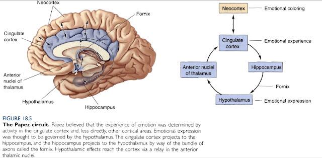 Circuito De Papez : Appunti di neuroscienze i meccanismi cerebrali delle