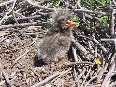 O filhote de siriema na caatinga