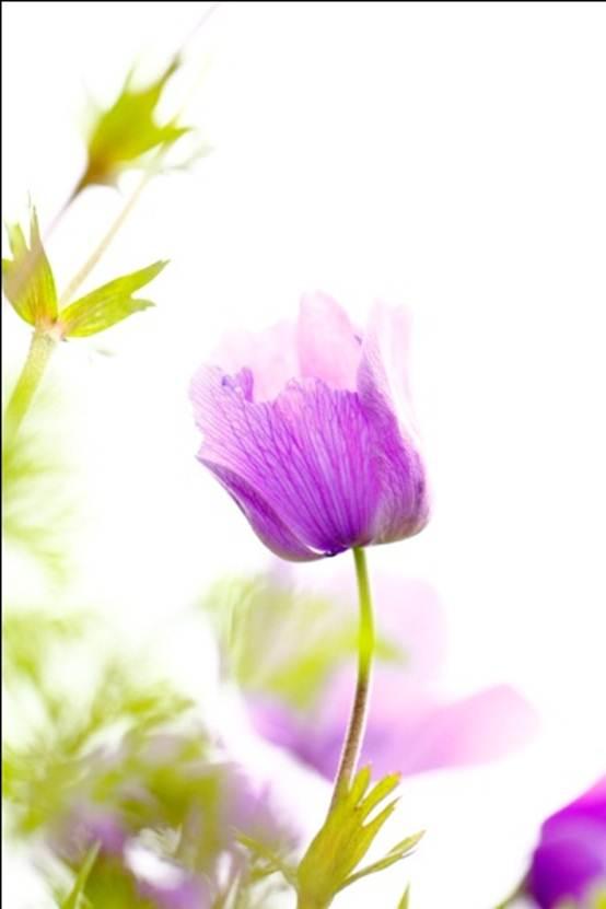 Anemonia.9