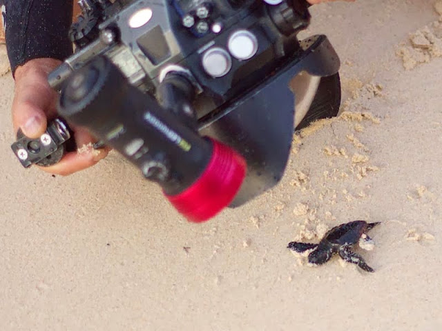 big camera, baby sea turtle,beach