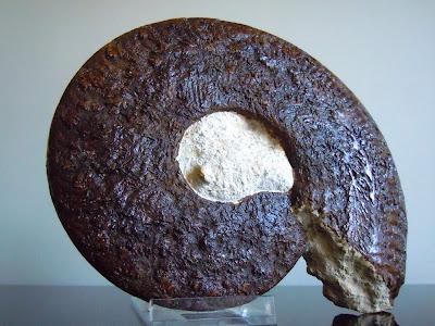 Fossil Ammonite: Harpoceras serpentinum.