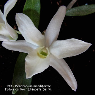 Dendrobium moniliforme  do blogdabeteorquideas