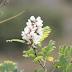 (Ψευδο)ακακίες, και άλλα μελισσοκομικά φυτά
