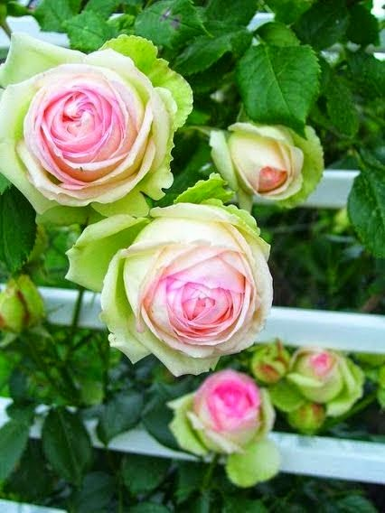 the scent of roses dreaming gardens. Black Bedroom Furniture Sets. Home Design Ideas