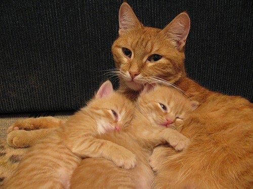 Brown mother cat loving her kittens