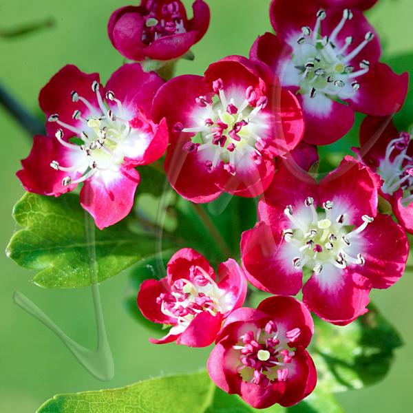 Red mayflower flower