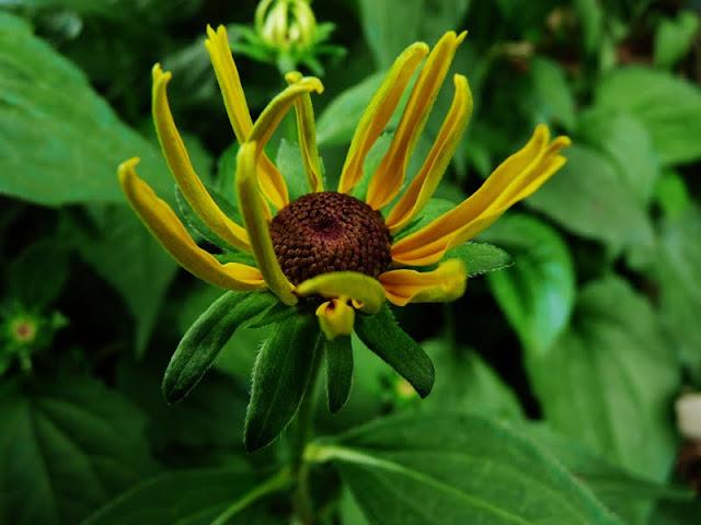 Black-eyed Susan begins to bloom