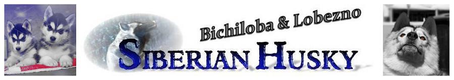Bichiloba y Lobezno Siberian Husky