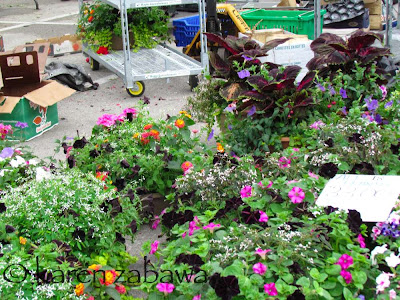 Baskets of annuals and bedding plants for sale at Port Credit Farmers Market.