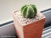 http://finfingarden.blogspot.com/2014/12/echinopsis-subdenudata-cactus-cacti.html