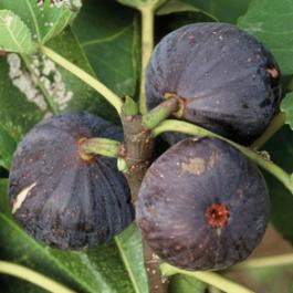 Orto per tutti piante da frutto for Piante nane da frutto