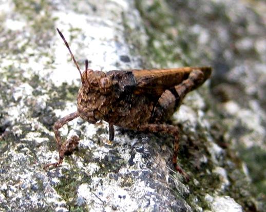 Brown Cricket