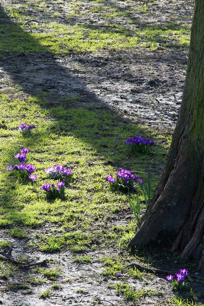 light on crocuses