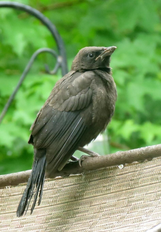 fledgling grackle - photo #2