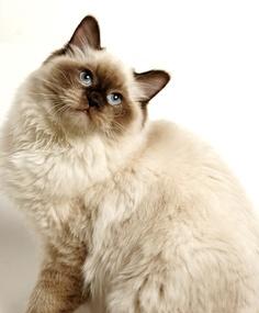 Ragdoll Cat History