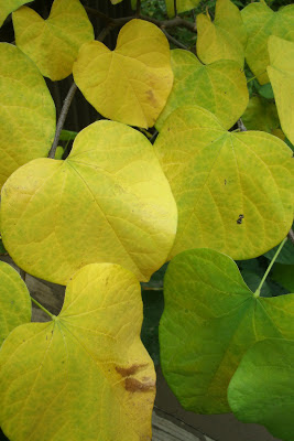Autumn_eastern_redbud_cercis_canadensis_leaves by garden_muses:_a_Toronto_gardening_blog