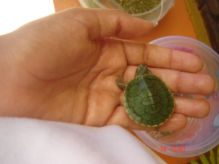 tortugas semi-acuaticas y terrestres