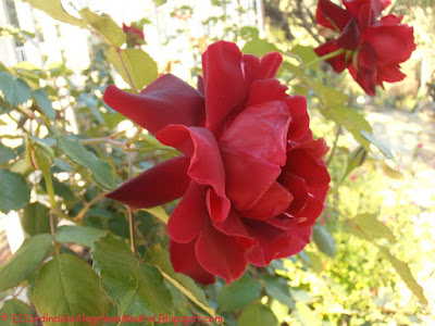 Rosa 'Étoile de Hollande, Cl'