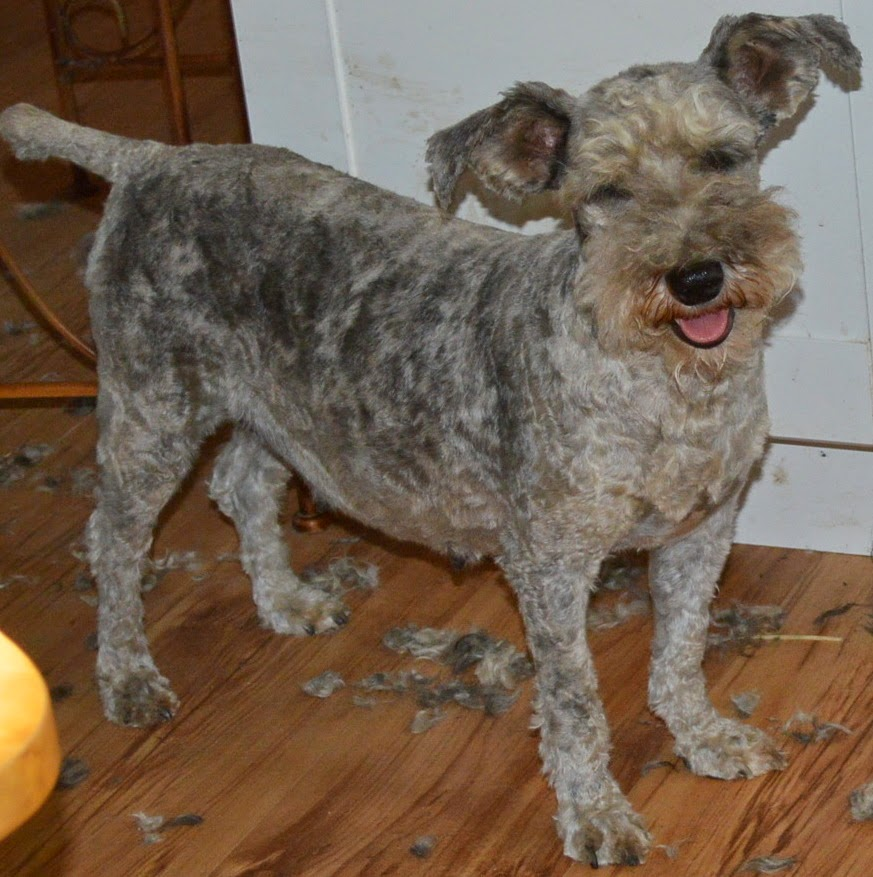 """Goofy Suzee after her """"prepup"""" haircut ! Look at the ears on that dog ..."""