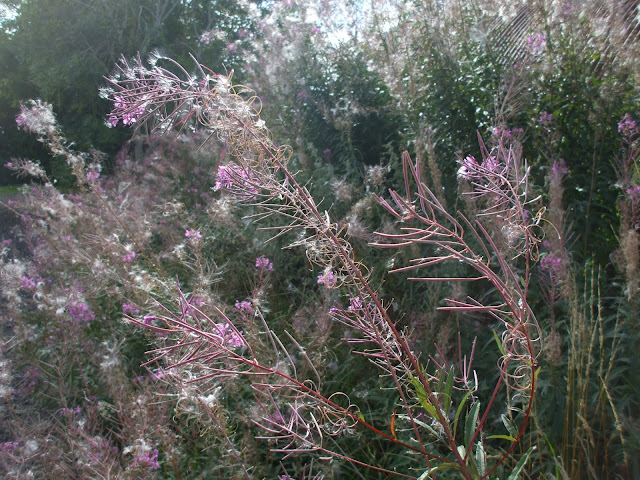 willowherb 14/9/13 by seapenguin