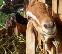 pedoman panduan teknis cara budidaya kambing domba susu pedaging natural nusantara poc nasa viterna hormonik