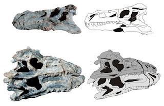 Decuriasuchus skull