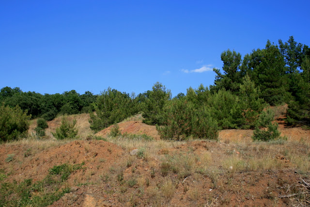 Pinus halepensis