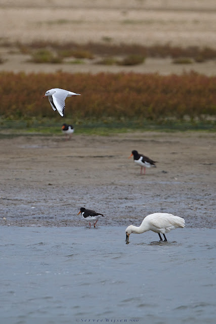 Kokmeeuw, Scholeksters & Lepelaar - Black-headed Gull, Oystercatchers & Spoonbill