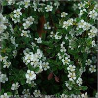 Cotoneaster suecicus 'Coral Beauty' flowers - Irga szwedzka 'Coral Beauty' kwiaty