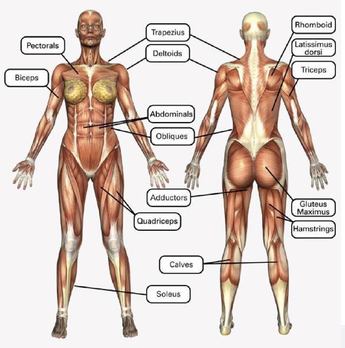 Vistoso Todos Los Músculos De Su Cuerpo Composición - Anatomía de ...