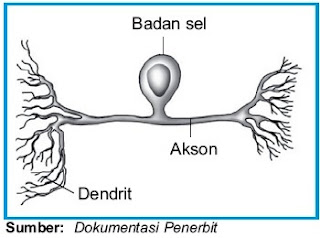 Neuron sensorik (Afferent)