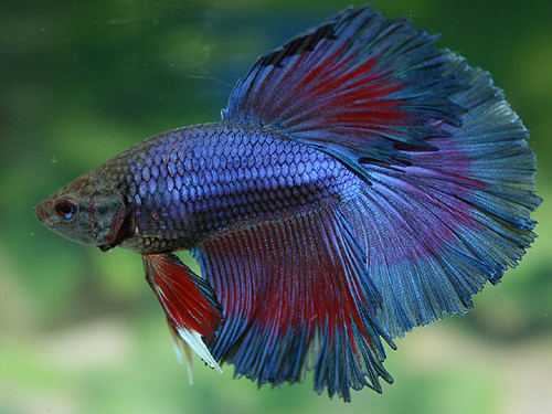 Betta fish best animals for Healthy betta fish