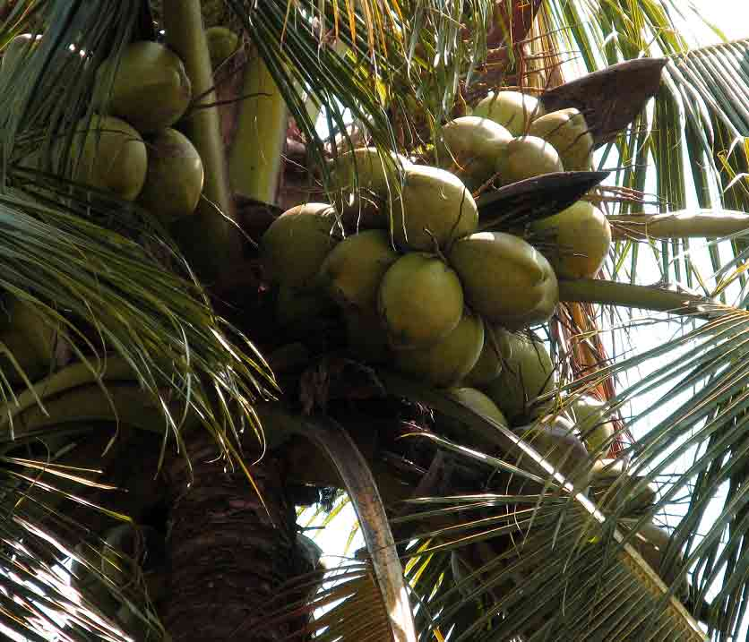 coconut fruit or vegetable fruits healthy skin