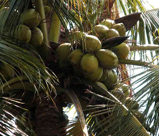 health_benefits_of_eating_coconut_fruits-vegetables-benefits.blogspot.com(10)