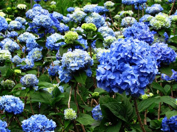 Ajisai Or Hydrangea Flowers At The Yohena Ajisai Garden