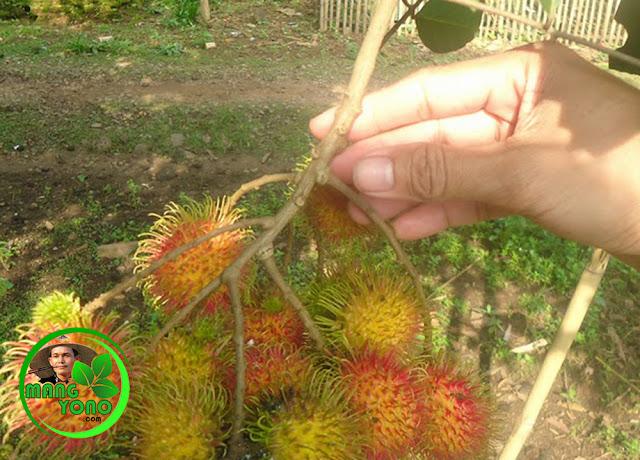FOTO : Buah Rambutan masih dipohon