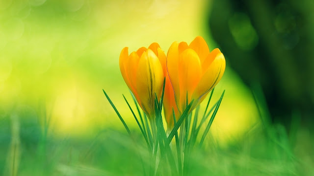 Yellow Crocus HD Wallpaper