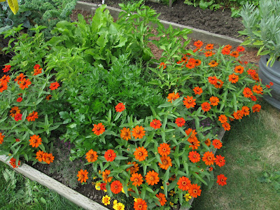 Herbs and zinnias in a garden