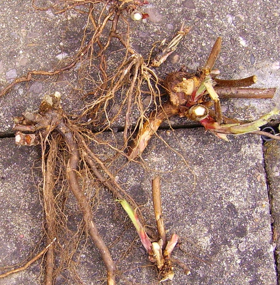 Spring bramble roots