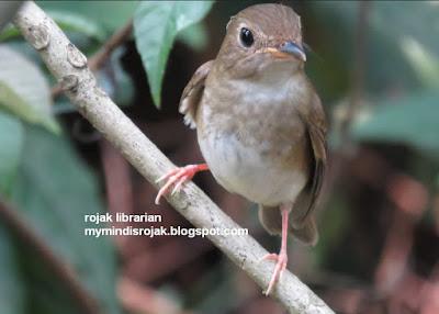 Brown Chested Jungle Flycatcher in Bidadari