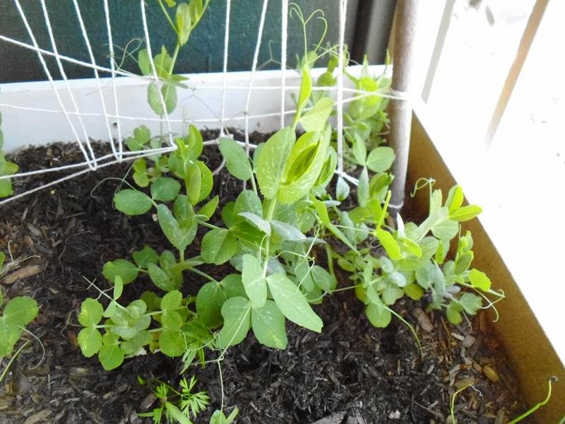 Peas on the trellis