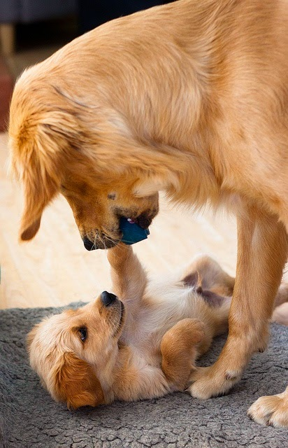 See more Cute dogs playing with his baby http://cutepuppyanddog.blogspot.com/