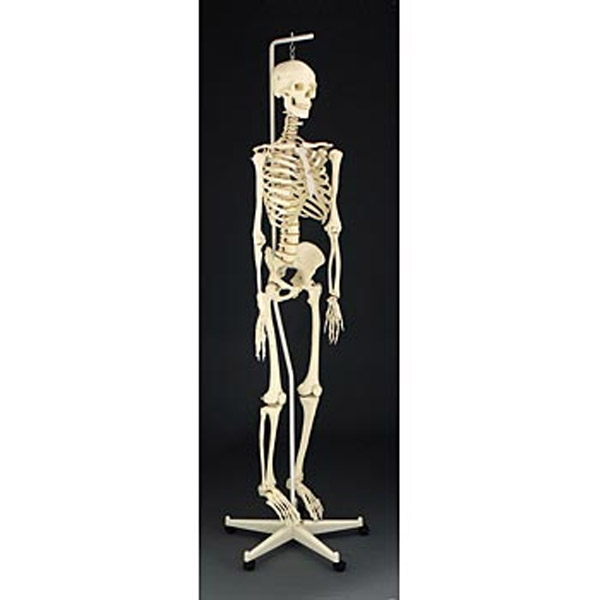 study of animal and human bones A person who studies human bones may be known as an osteologist physical anthropologists may also study human bones people who study animal bones from archaeological sites are known as.