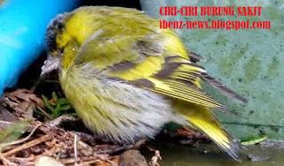 Ciri-Ciri Burung Sakit yang Perlu Diketahui