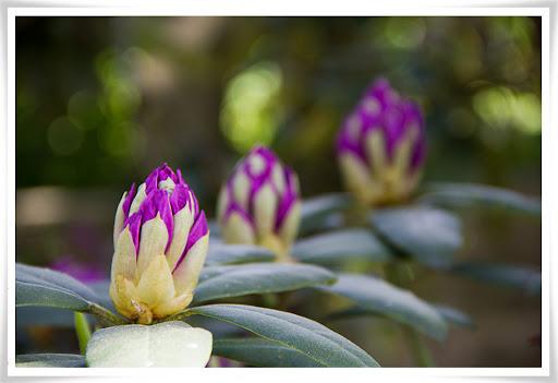 Rhododendronknoppar