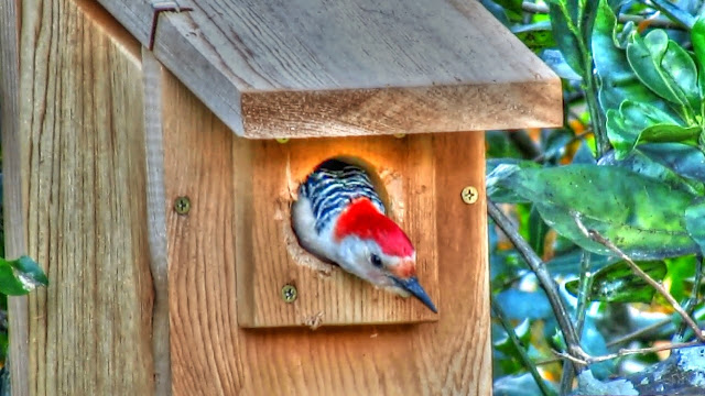Red Bellied Woodpecker in Nest Box
