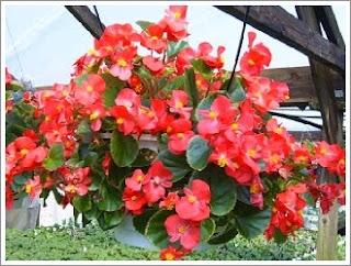 http://mustahabbah.blogspot.com/2015/12/manfaat-dan-khasiat-tanaman-begonia.html