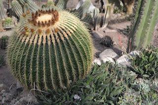 Echinocactus grusonii. Cactus esférico. Asiento de suegra, Bola de Oro, Barril de oro, Cactus Erizo. Heladas.
