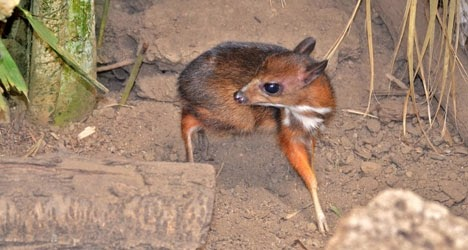 Java mouse-deer baby